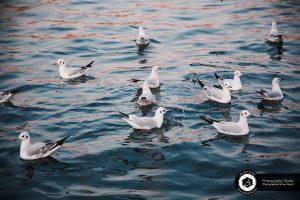 photography zoo animals tehran eram  bird seagull 20 300x200 - photography_Zoo_Animals_Tehran_eram_ Bird Seagull پرنده مرغ دریایی باغ وحش حیوانات تهران ارم - نیما نصیری - آتلیه اندیشه نو - عکاسی (۲۰)