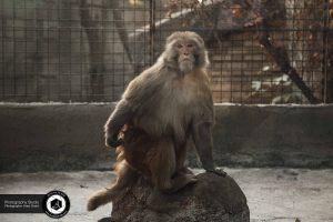 photography zoo animals tehran eram  monkey 9 300x200 - photography_Zoo_Animals_Tehran_eram_ Monkey میمون باغ وحش حیوانات تهران ارم - نیما نصیری - آتلیه اندیشه نو - عکاسی (۹)