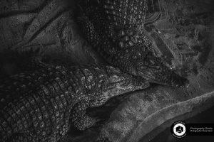 photography zoo animals tehran eram alligator 16 300x200 - photography_Zoo_Animals_Tehran_eram_Alligator تمساح باغ وحش حیوانات تهران ارم - نیما نصیری - آتلیه اندیشه نو - عکاسی (۱۶)