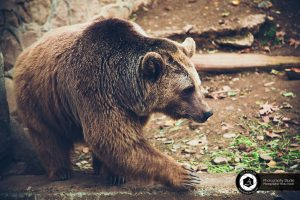 photography zoo animals tehran eram bear 3 300x200 - photography_Zoo_Animals_Tehran_eram_Bear خرس باغ وحش حیوانات تهران ارم - نیما نصیری - آتلیه اندیشه نو - عکاسی (۳)