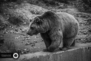 photography zoo animals tehran eram bear   1 300x200 - photography_Zoo_Animals_Tehran_eram_Bear خرس_ باغ وحش حیوانات تهران ارم - نیما نصیری - آتلیه اندیشه نو - عکاسی (۱)