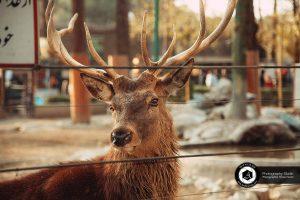 photography zoo animals tehran eram deer 12 300x200 - photography_Zoo_Animals_Tehran_eram_deer گوزن باغ وحش حیوانات تهران ارم - نیما نصیری - آتلیه اندیشه نو - عکاسی (۱۲)