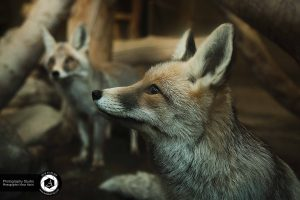 photography zoo animals tehran eram fox 26 300x200 - photography_Zoo_Animals_Tehran_eram_Fox روباه باغ وحش حیوانات تهران ارم - نیما نصیری - آتلیه اندیشه نو - عکاسی (۲۶)