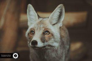 photography zoo animals tehran eram fox 27 300x200 - Animals_zoo_photography