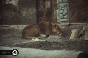 photography zoo animals tehran eram lion 17 300x200 - photography_Zoo_Animals_Tehran_eram_Lion شیر باغ وحش حیوانات تهران ارم - نیما نصیری - آتلیه اندیشه نو - عکاسی (۱۷)