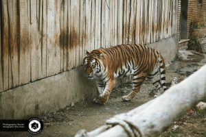 photography zoo animals tehran eram tiger 24 300x200 - photography_Zoo_Animals_Tehran_eram_Tiger ببر باغ وحش حیوانات تهران ارم - نیما نصیری - آتلیه اندیشه نو - عکاسی (۲۴)