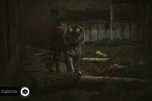 photography zoo animals tehran eram tiger 25 300x200 - photography_Zoo_Animals_Tehran_eram_Tiger ببر باغ وحش حیوانات تهران ارم - نیما نصیری - آتلیه اندیشه نو - عکاسی (۲۵)